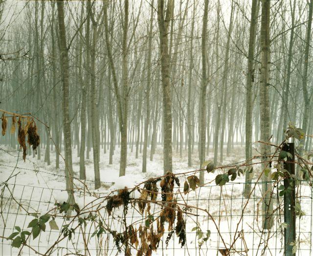 Barbara Bartolone, Dalla serie _Alberi che ti hanno visto correre 03_, provincia di Pavia, 2006, negativo a colori 6X7 cm