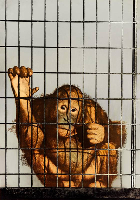 MICHELANGELO PISTOLETTO mostra Studio Guastalla - Michelangelo Pistoletto, Scimmia in gabbia, 1962-1973, serigrafia su acciaio inox lucidato a specchio, cm 100x70